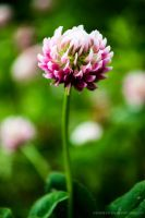 Blooming Clover by Karolaxd