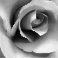 Rose 3 (B/W) by Blue-Koi