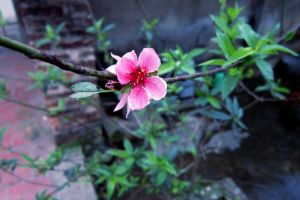 peach blossom by melonwater