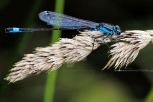 Damsonfly by teslaextreme