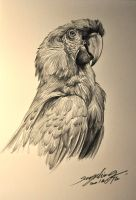 MACAW SKETCH by banhatin