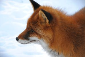 Fox by EmiliaLingvald