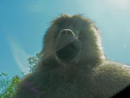 Baboon Close-up by allykat