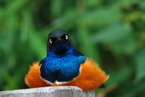 Superb Starling by robbobert