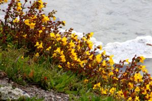 Flowers at Yellowstone by LimeGlass