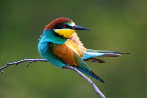 Bee-eater 1 by Dtomi84