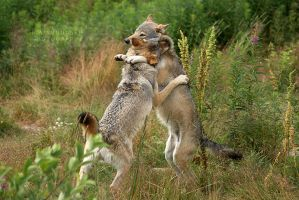 playing . wolves by Titovn