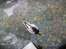 The Duck and The Water by Fapplephill