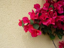 Bougainvilles II by anakinpedro