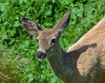 Black tail deer by PaulWeber