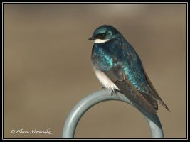 Swallow by Ptimac