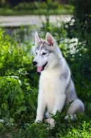 Young Husky by DeingeL-Dog-Stock