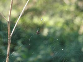 Spider by Claudia008
