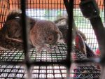 Young Gray Squirrels 1 by Windthin