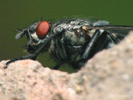 Sarcophagidae family3 by Insect-Lovers-Club