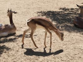 Young Thomson's gazelle by photographyflower