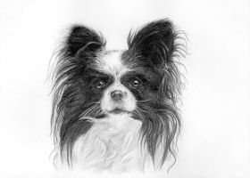 Papillon by silima13