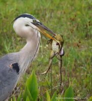Blue Heron and Frog by FForns