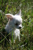 Chihuahua by Mephistress