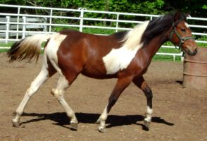 Horse Stock 89 - Coby by Freedom-Falling