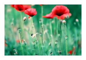 .poppy - september by shiek0r