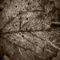 texture 15 dead leaf by i-see-faces