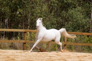 Arab Stretched out trot by Chunga-Stock