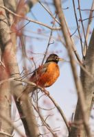 Rockin Robin by TheLonelyFotographer