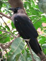 Crow by sharan