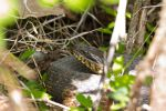 Northern Water Snake by wax-wing