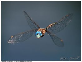 Darner in flight by macrophotography