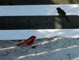 cardinal couple by Lou-in-Canada
