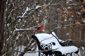 Cardinal and park bench by beautythroughalens