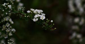 Bridal Wreath 2 by Photolover68