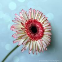 Gerbera STOCK by FrancescaDelfino