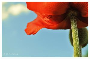 A Poppy's View by erbphotography