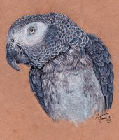 Commission - Congo African Grey by KristynJanelle