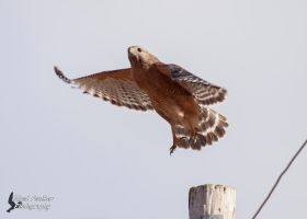 Red Shouldered Hawk 4 by EdgedFeather