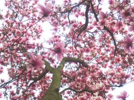 Blooms of Magnolia by Dazed1