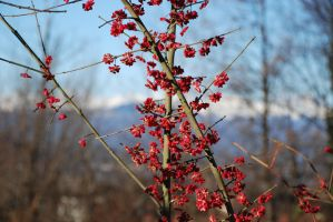 Spindle Berries 2 by adischordantrhyme