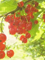 Red-Currant, du-uh. by boringzoo