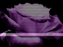 A rose is still a rose - v.3 by houseofleaves