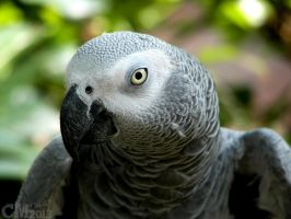 Congo African Grey by Ciameth