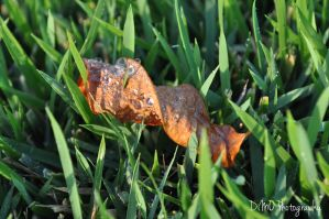 Dry Leaf Covered in Water Droplets by AllAboutDianne