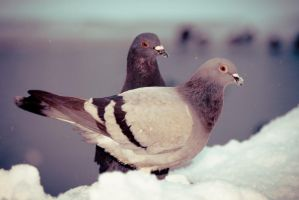 Pigeons chillin by Toni-Dogma