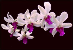 WHITE AN PURPLE ORCHIDS by THOM-B-FOTO