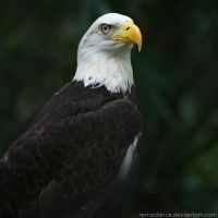 Bald Eagle III by remadance