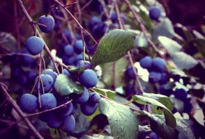 Wild plums by creamypeach