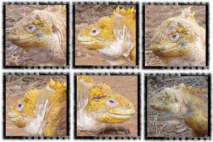 Yellow and Orange Iguanas by webgoddess