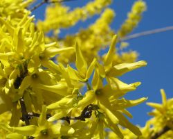 Forsythia by mrkane27